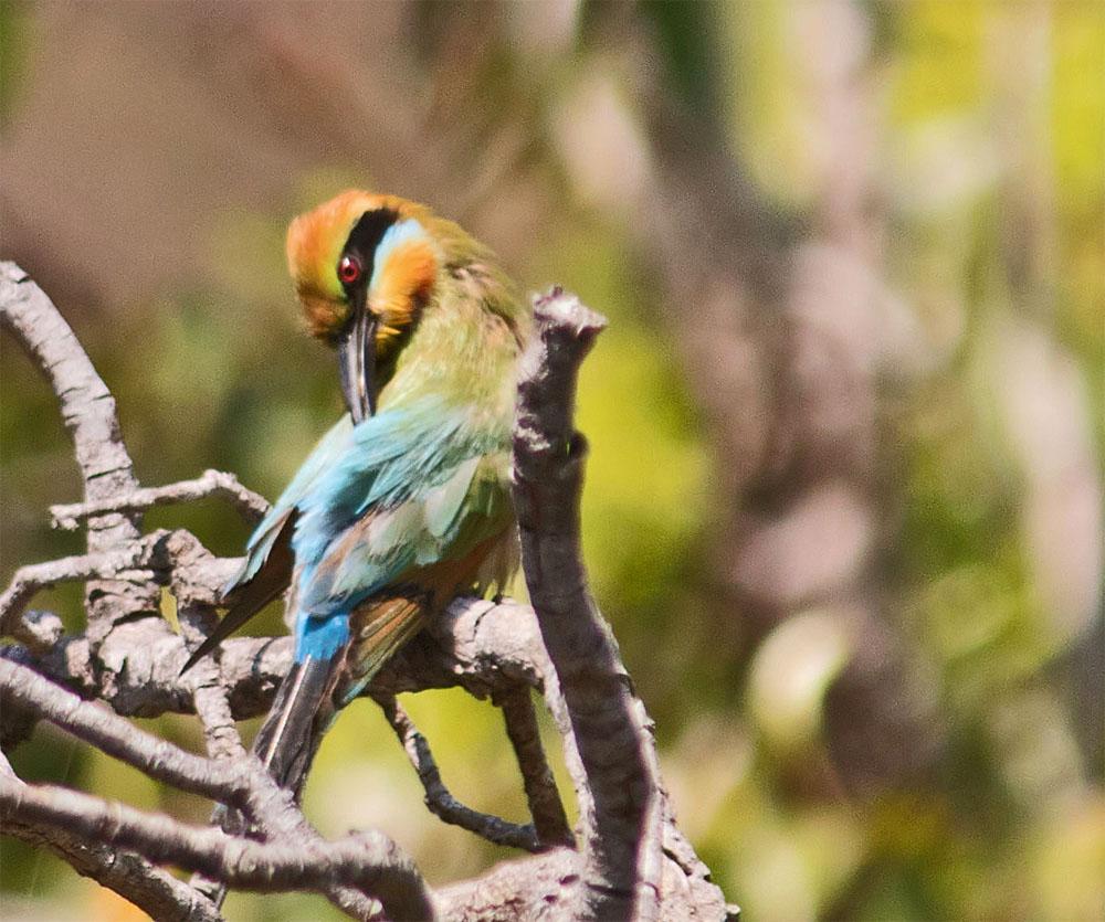 Rainbow bee eater2a