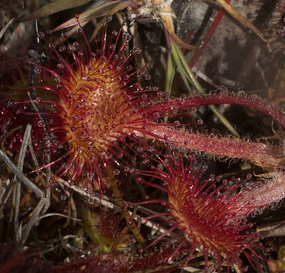 Sundew Thursley 18 Jul 18