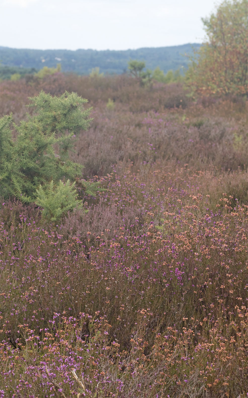 Thursley Common1 18 Jul 2018