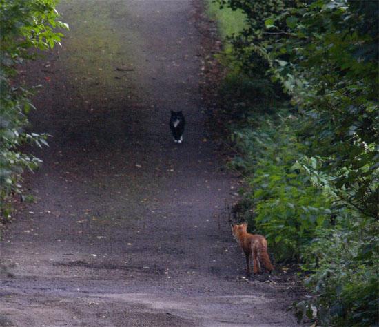 Cat fox2