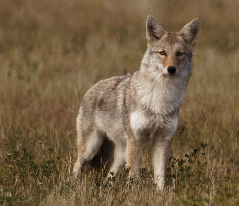Coyote 22 Sept 2018