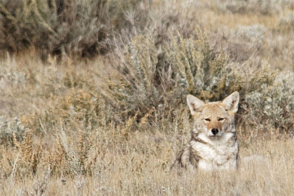 Coyote1 GNP Sept 18