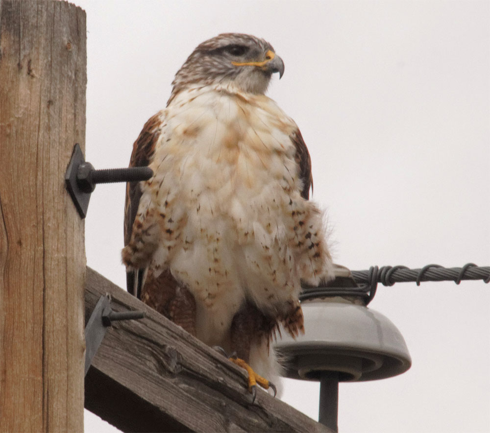 Ferruginous hawk GNP 21 Sept 2018