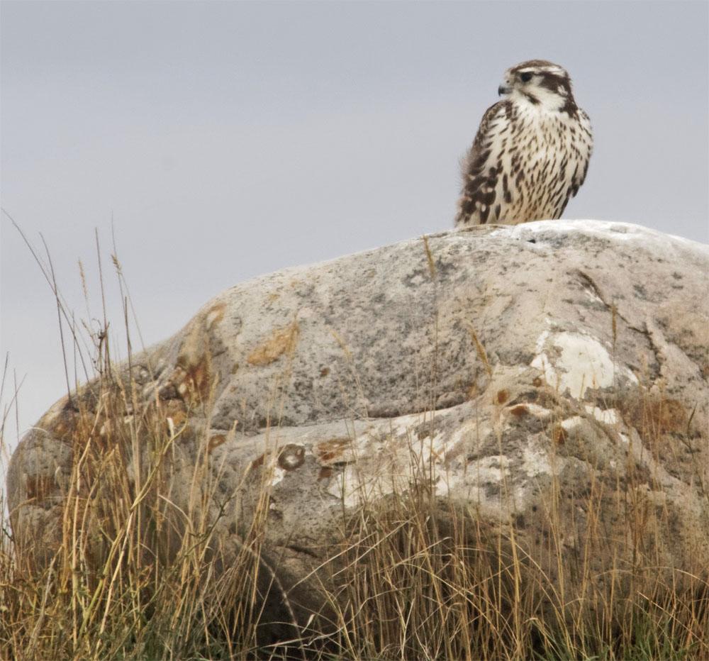 Prairie falcon 20 Sept 2018