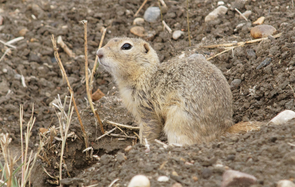 Richardson's ground squirrel 20 Sept 2018