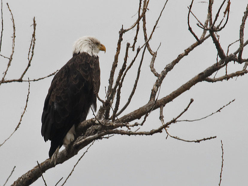 Bald eagle 19 Sept 2018