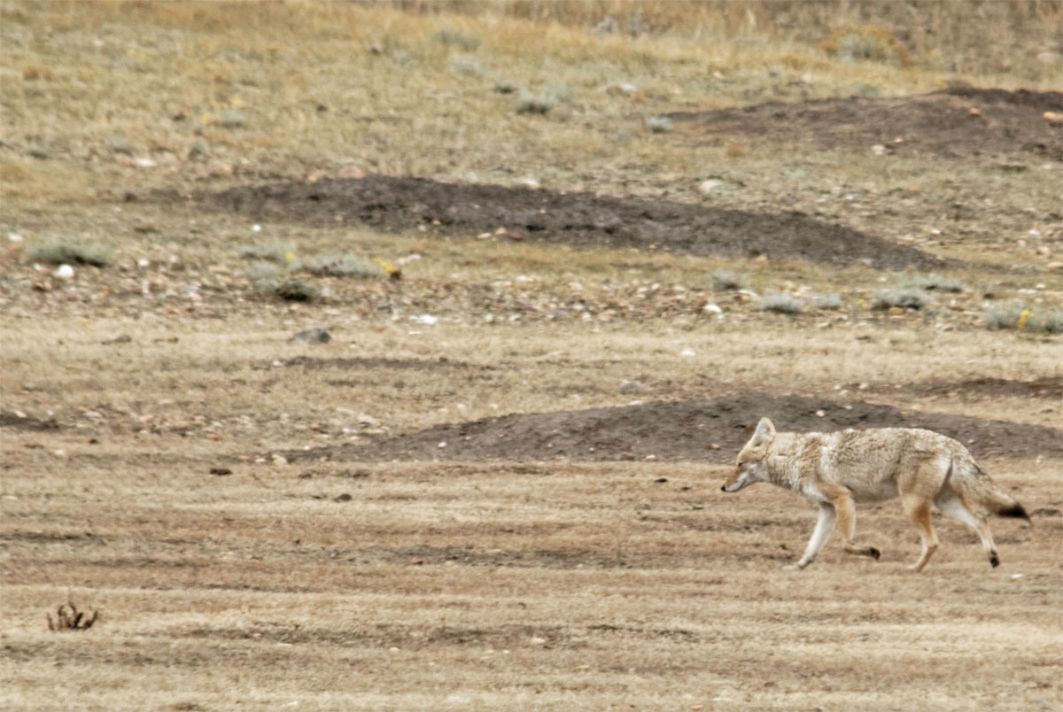 Coyote GNP Sept 18