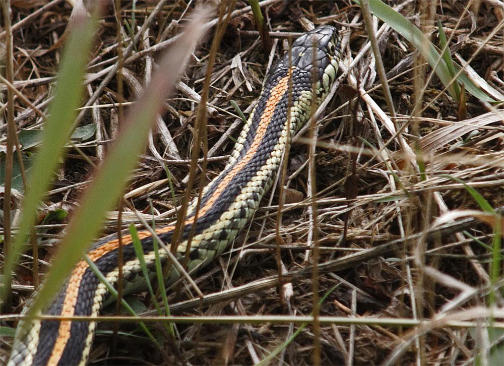 Garter snake GNP 21 Sept 2018