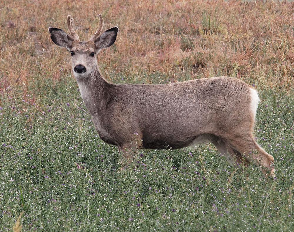 Mule deer 20 Sept 2018