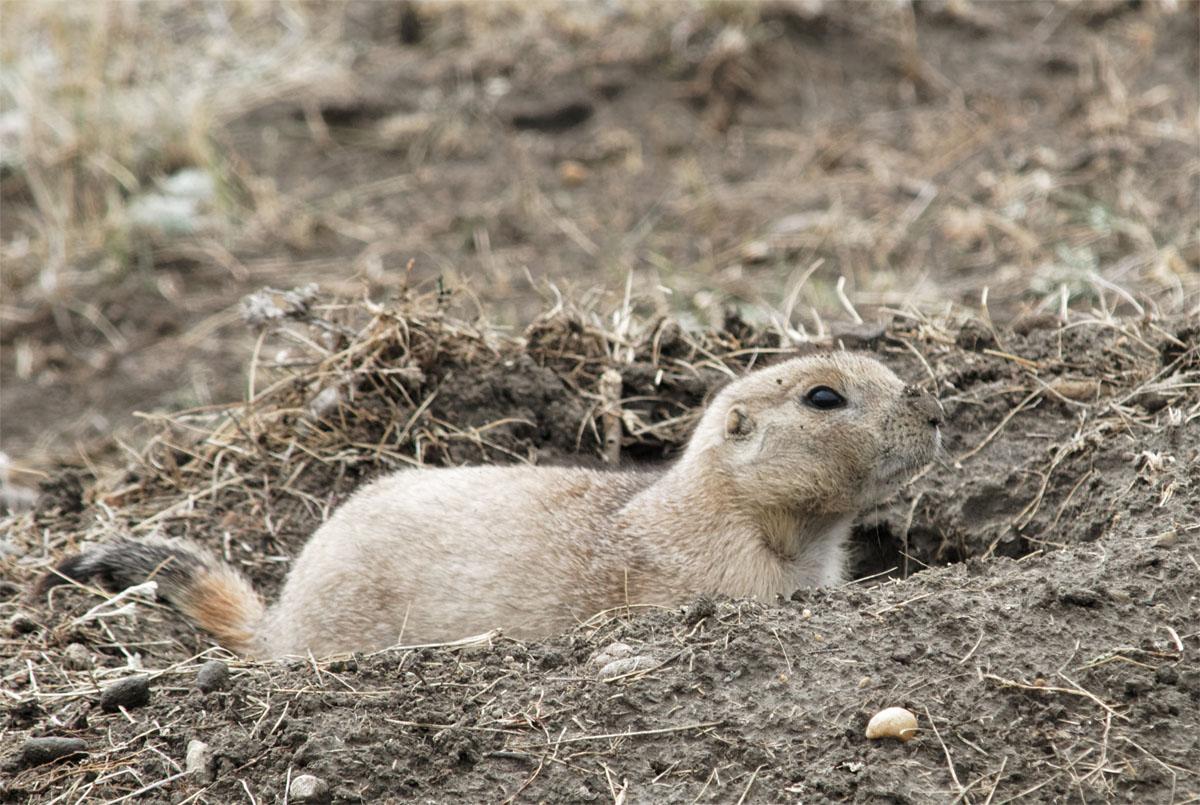 Prairie dog1