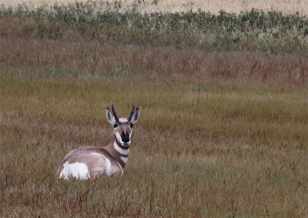 Pronghorn 20 Sept 2018