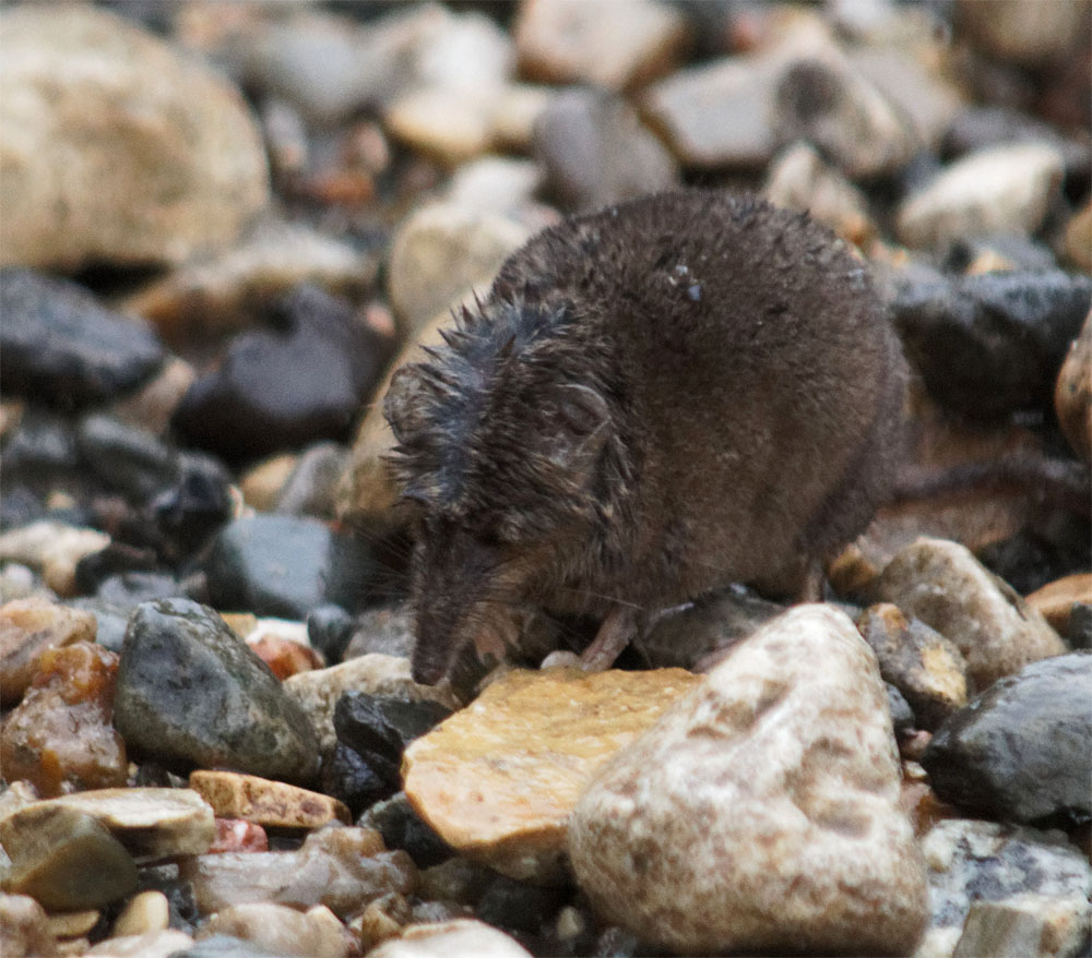 american pygmy shrew2 rmnp sept 18