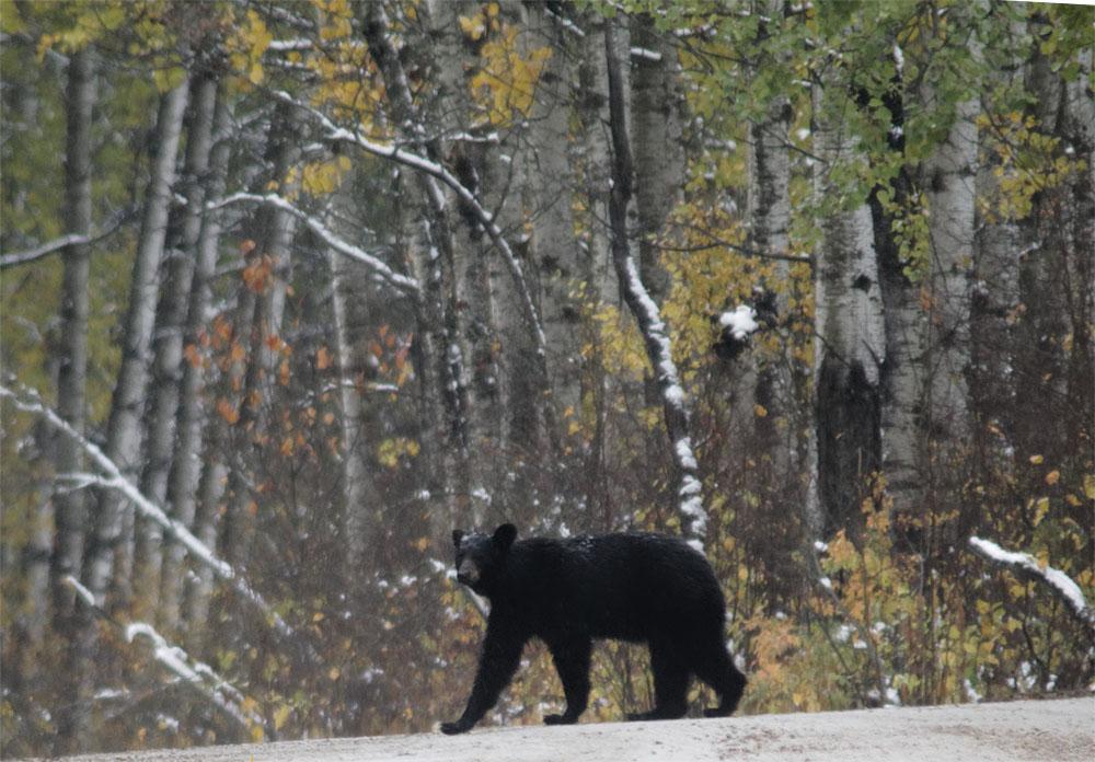 bear2 rmnp sept 18