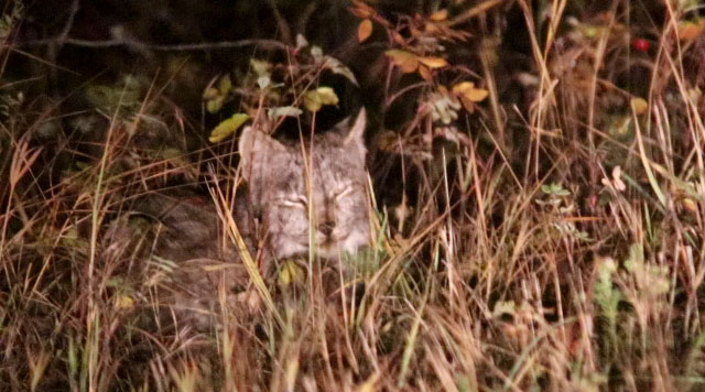 canadian lynx 24 sept 2018