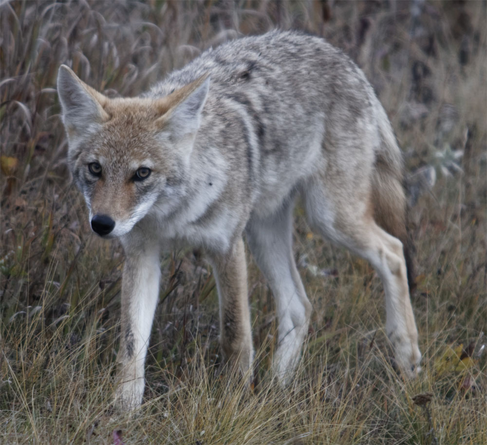 coyote dog days2 sept 18