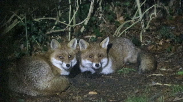 fox dun male and vixen 23 jan 19