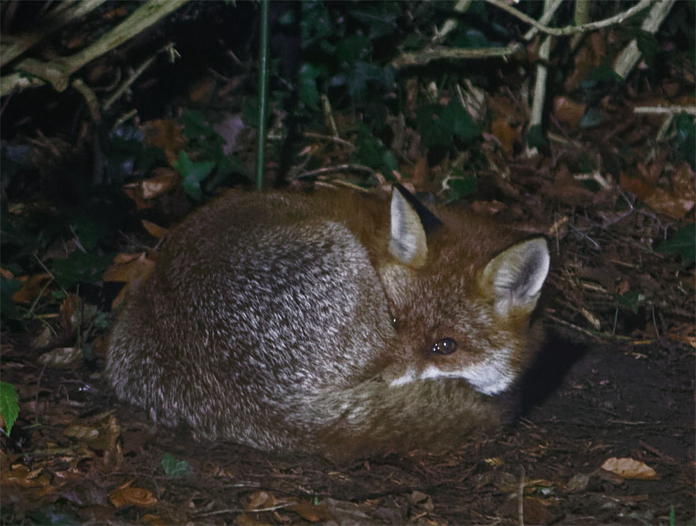 fox vixen sleeping 23 jan 19
