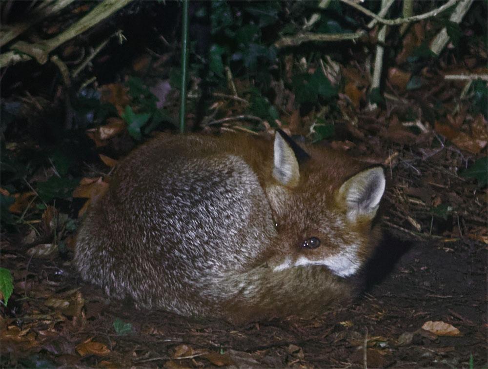 fox vixen sleeping 23 jan 19