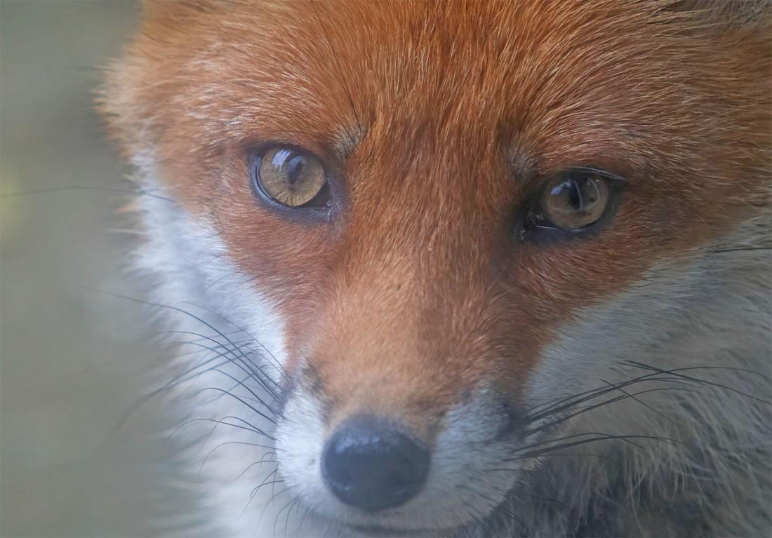 fox white socks1 19 may 2017