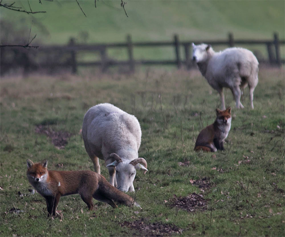 foxes and sheep bl 17 jan 2018
