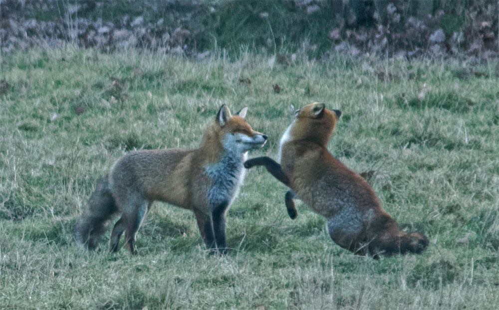 foxes courting 17 jan 2019