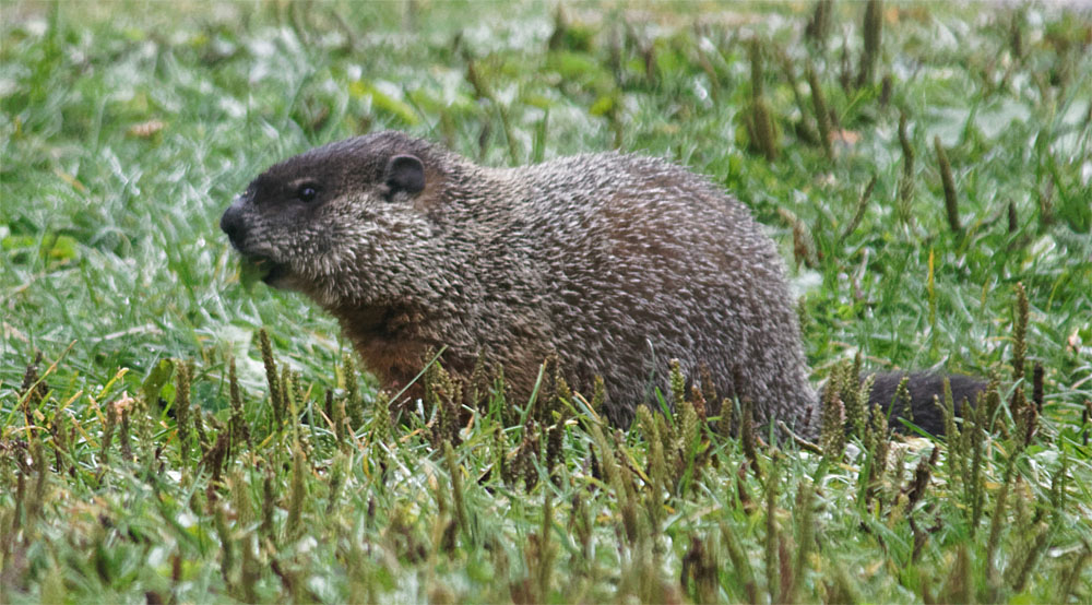 woodchuck rmnp sept 18