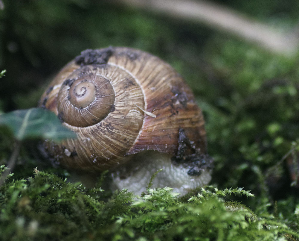 Roman snail Mar 2019