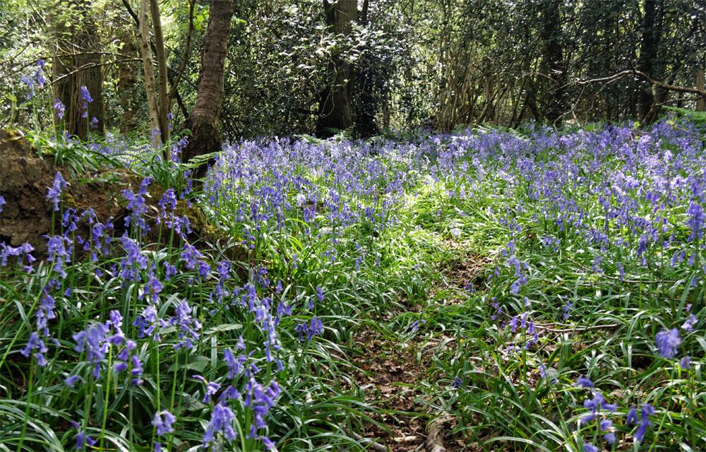 Bluebells woods 2019a