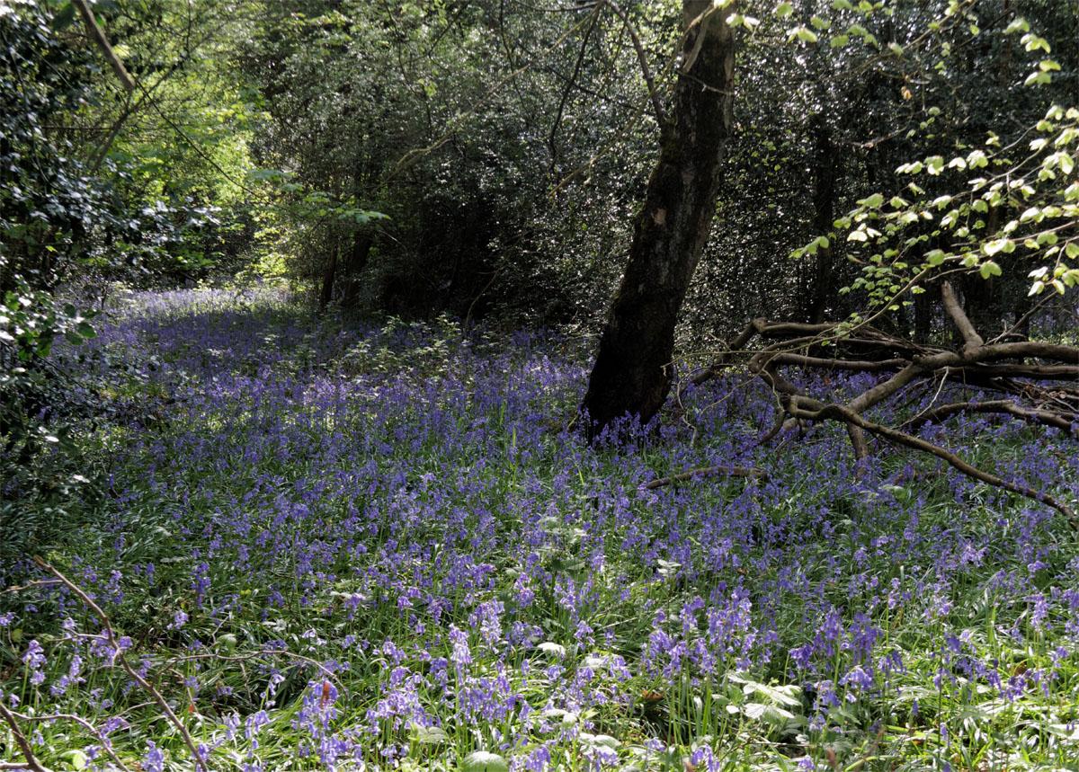 Bluebells woods 2019c