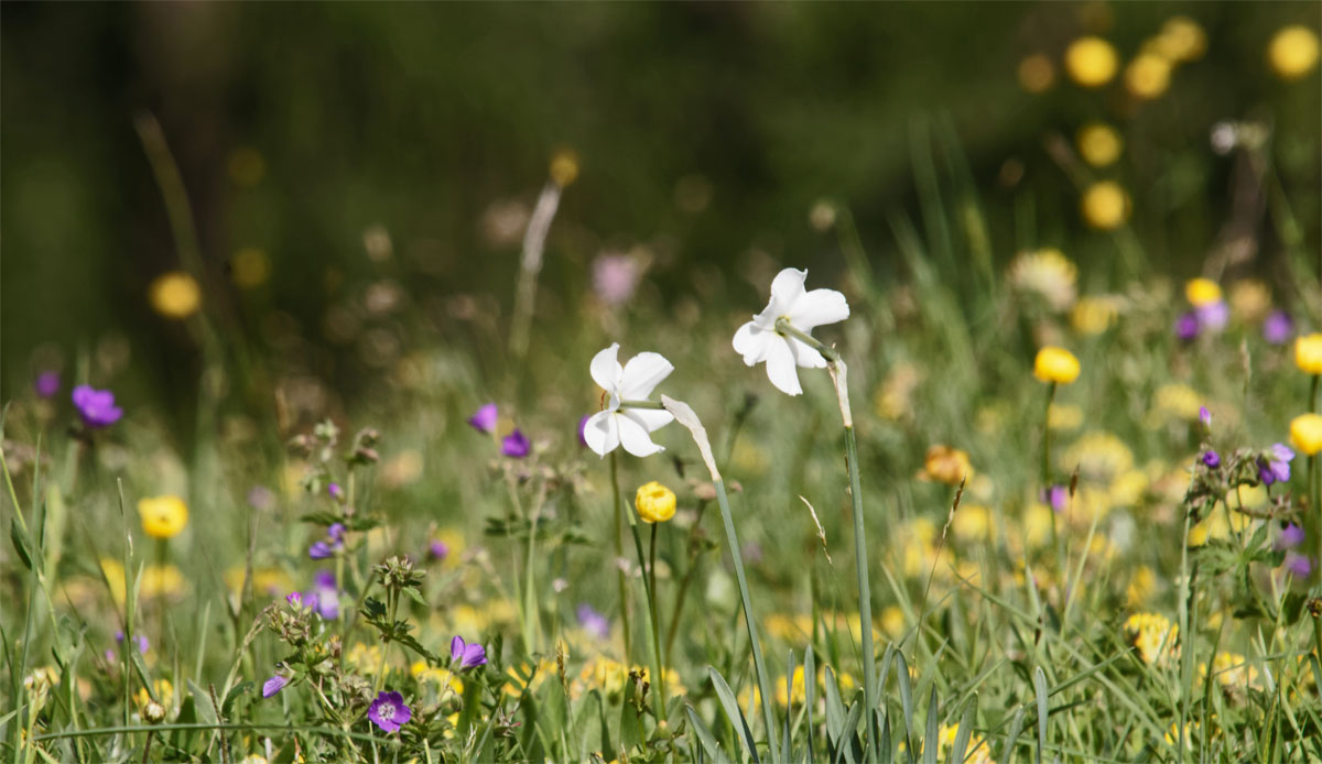 Alpine meadow Jun 19
