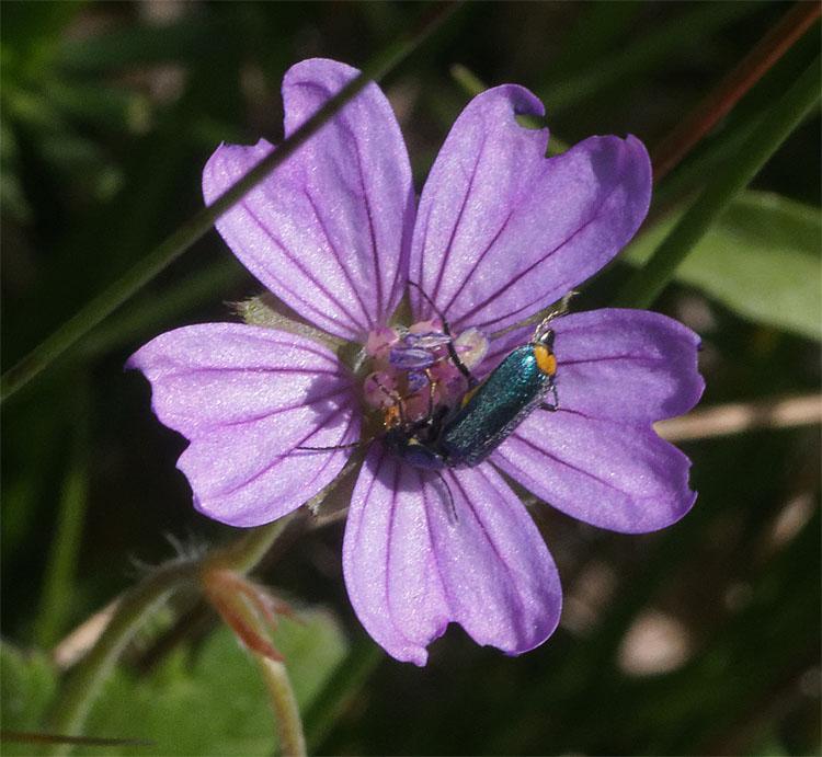 Bug on herb-robert Jun 19