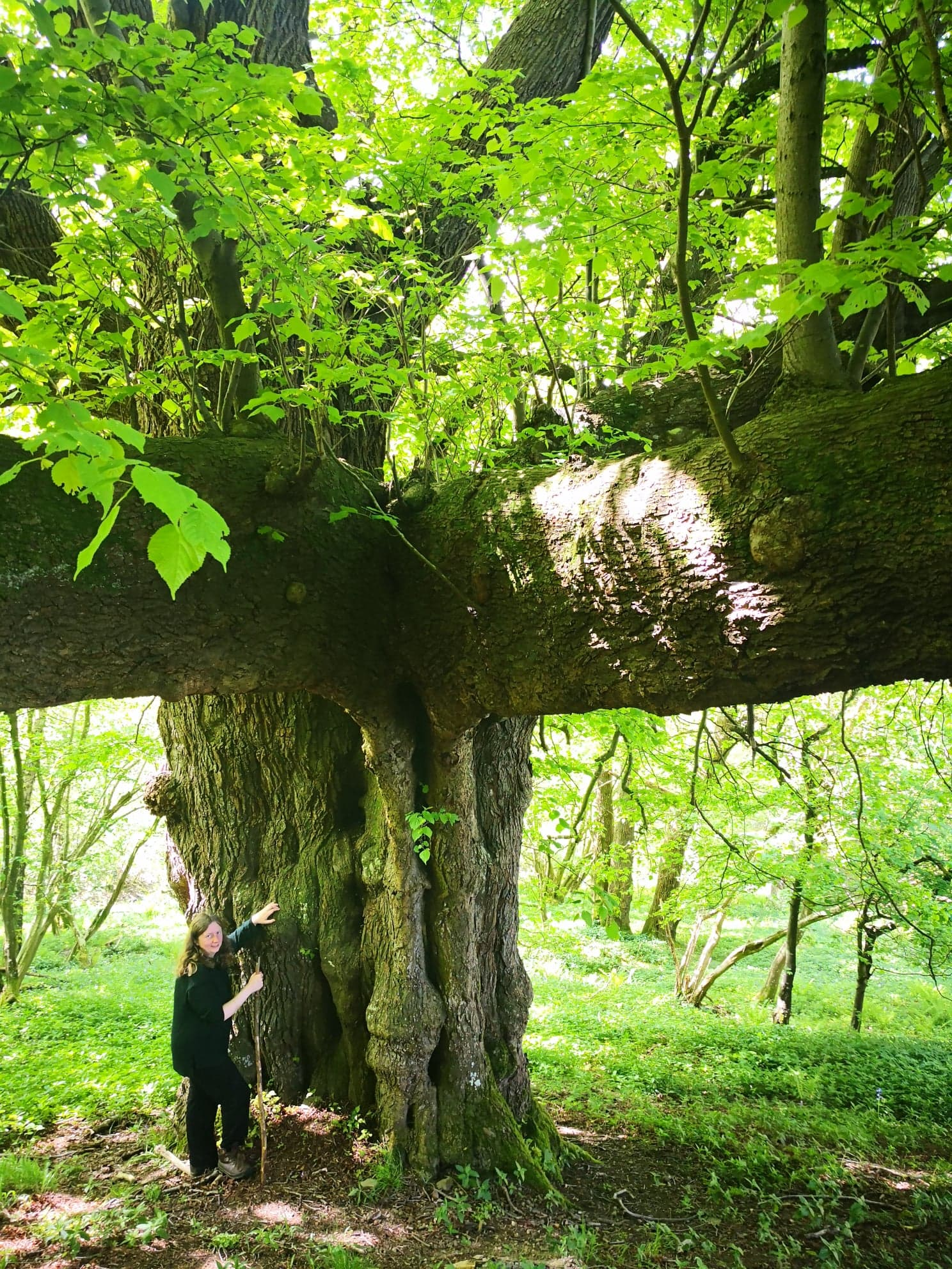 Giant tree Mortimer Forest May 19