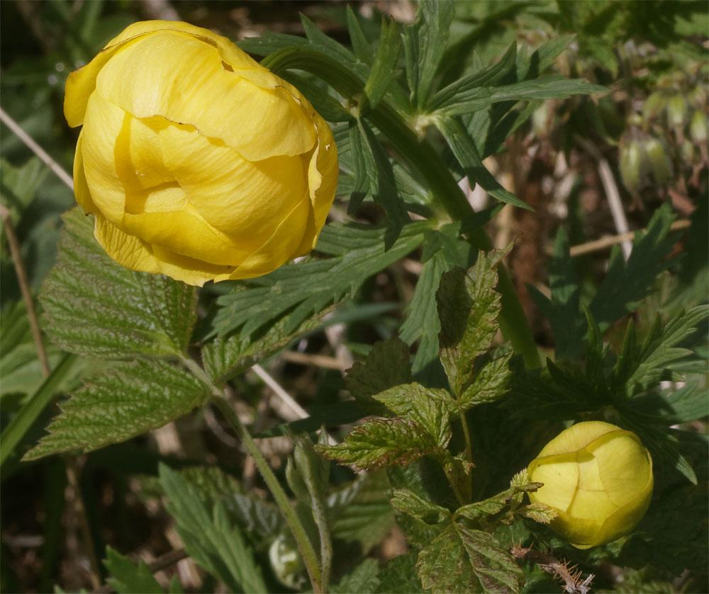Globeflower CH