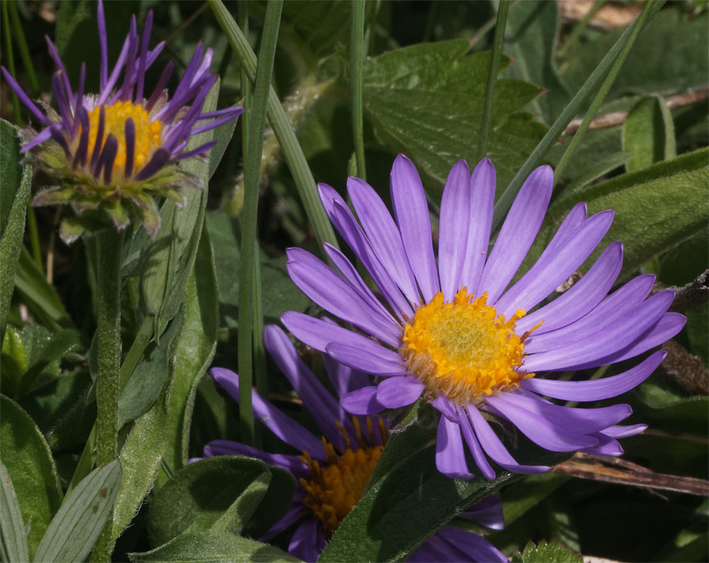 Mountain aster CH