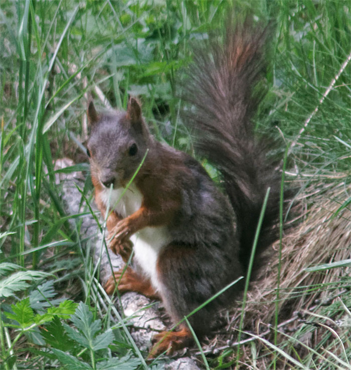 Red squirrel CH Jun 19