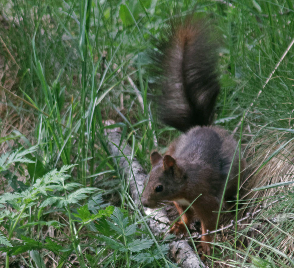 Red squirrel2 CH Jun 19