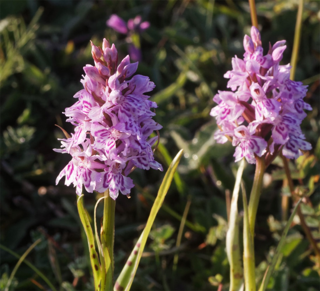Spotted orchids 6 Jun 19