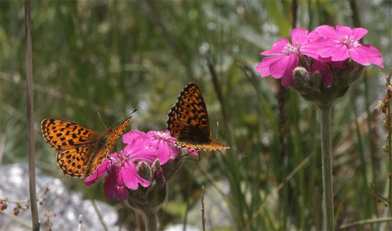 Swiss butterflies1 Jun 19