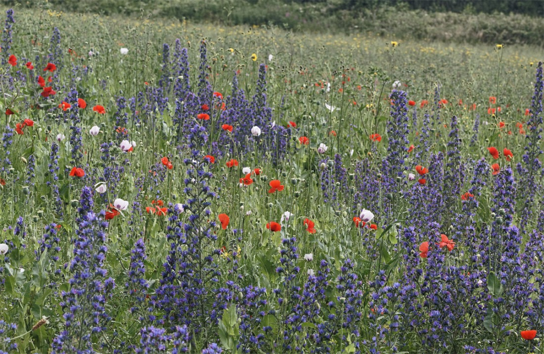 Bugloss and poppies Ranscombe Jul 19