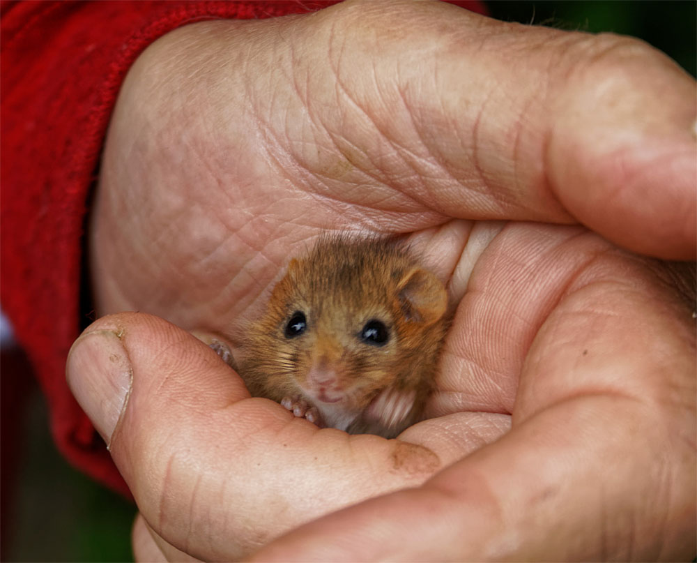 Dormouse IoW juv1 7 Jul 19