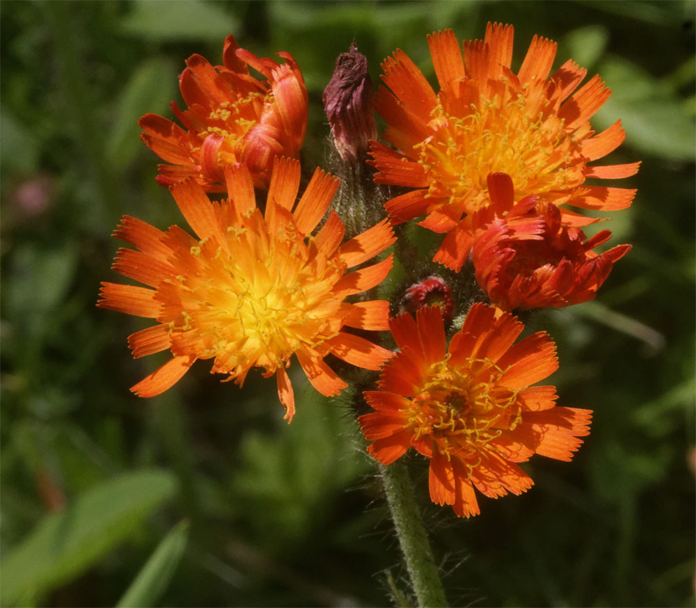 Fox and Cubs2 Jul 19