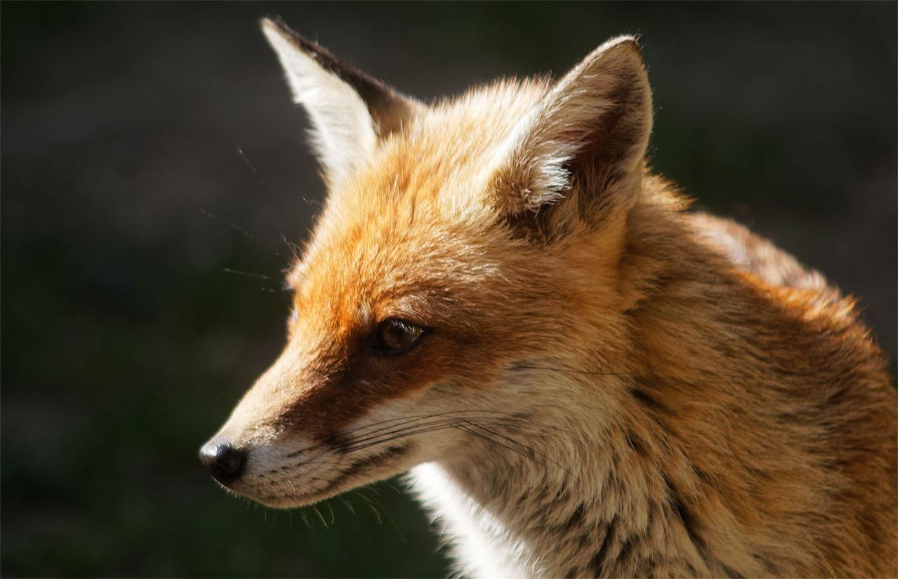 Fox PF 5 Jul 19