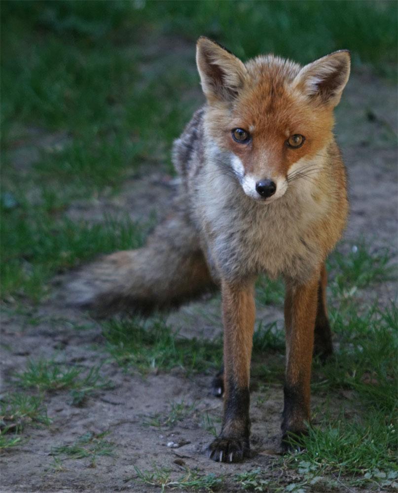 Fox PF2 5 Jul 19
