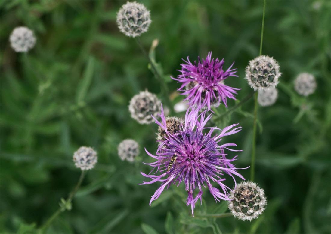 Greater knapweed Ranscombe Jul 19