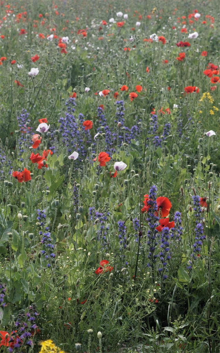 Ranscombe arable meadow Jul 19