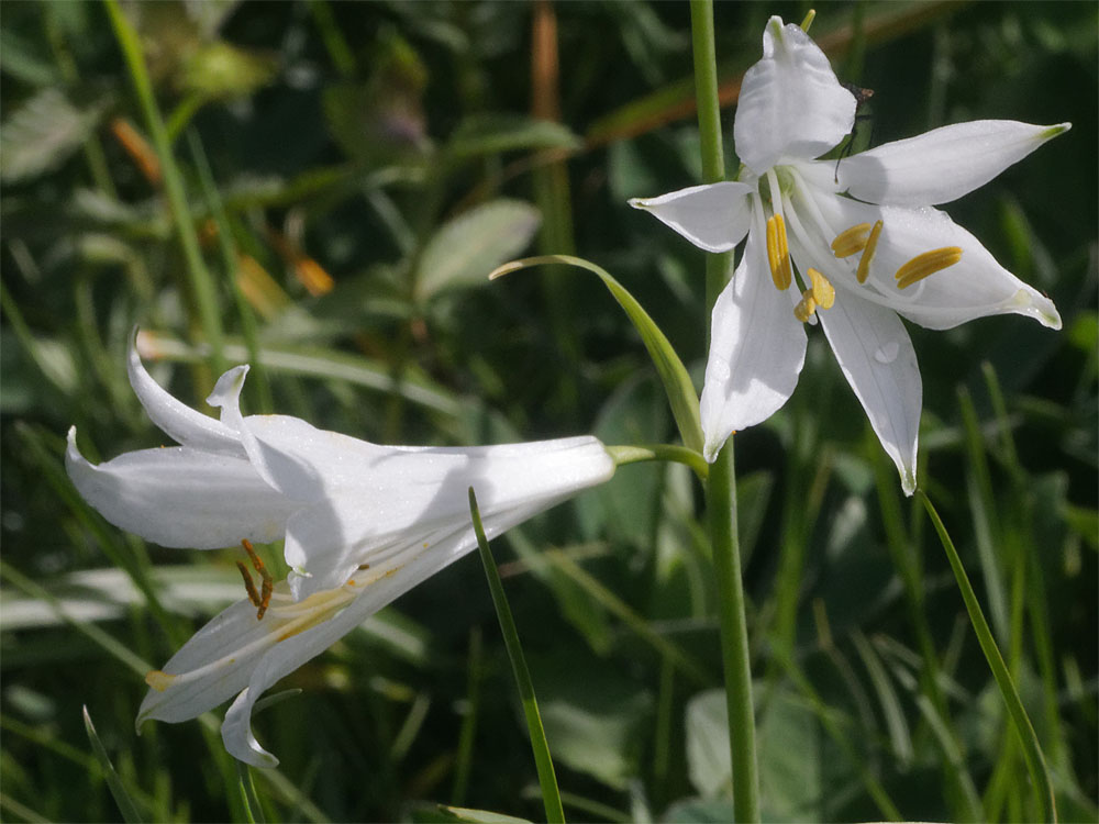 St Bruno's lily CH Jun 19