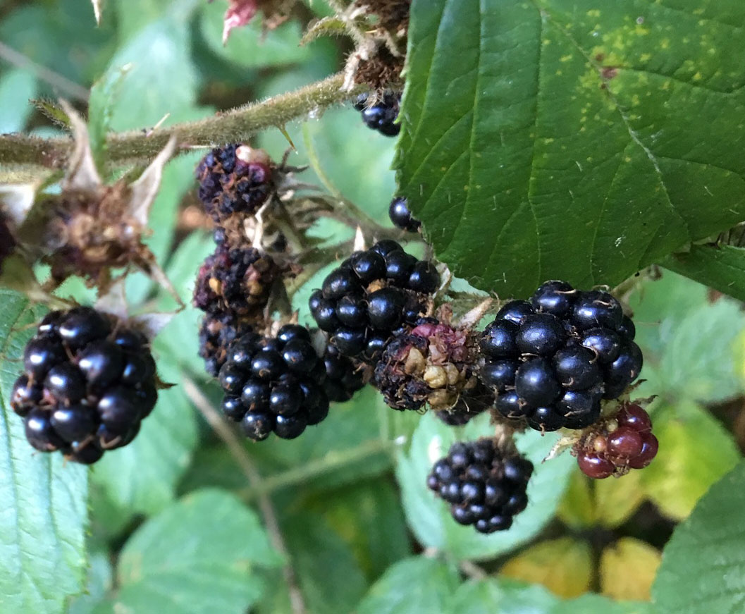Blackberries 8 Sept 19