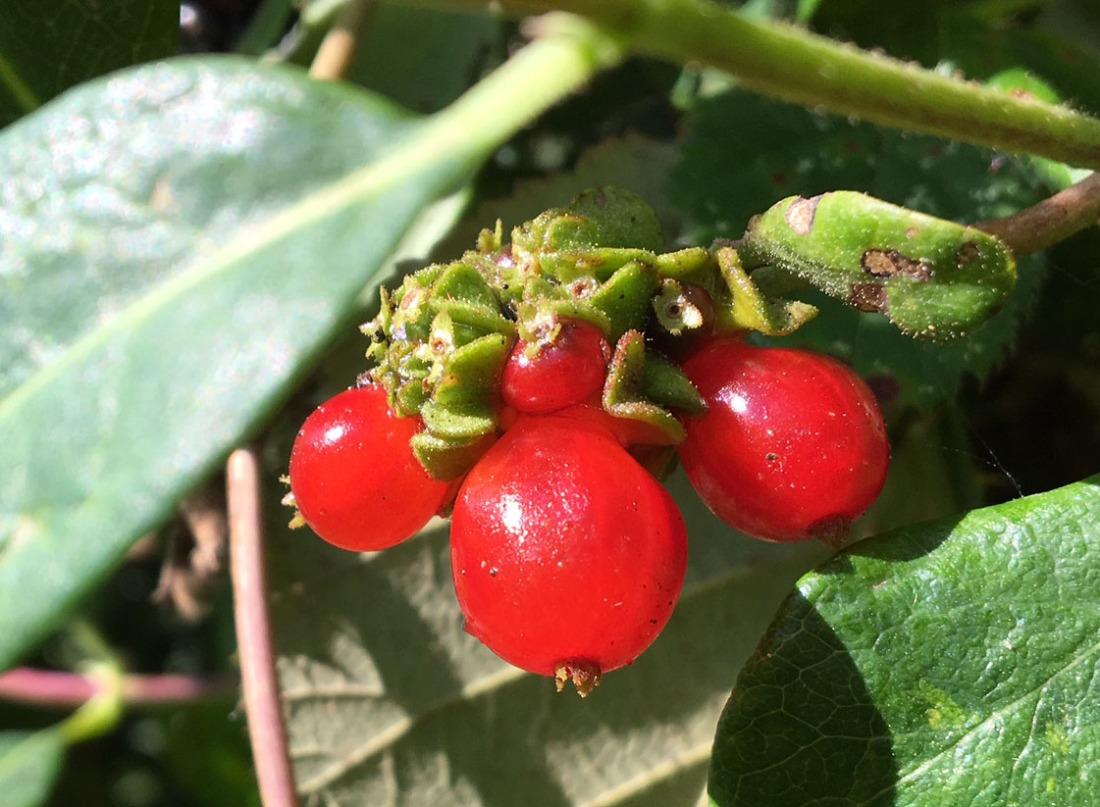 Bryony berries 8 Sept 19