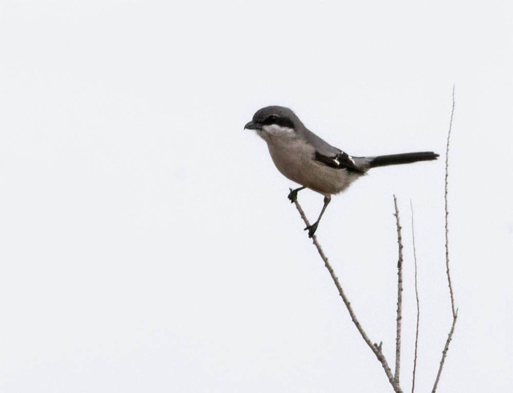 Iberian grey shrike Donana Dec 19