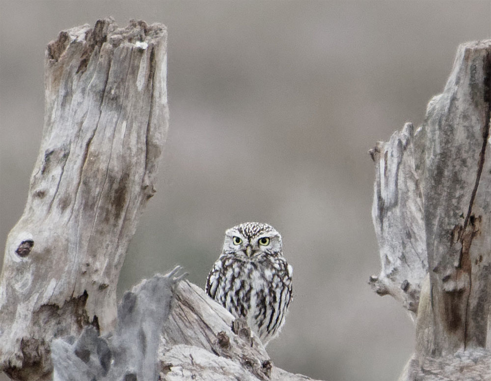 Little owl Donana Dec 19